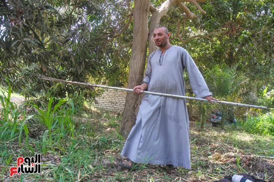 محمود يحصد محصول المانجو