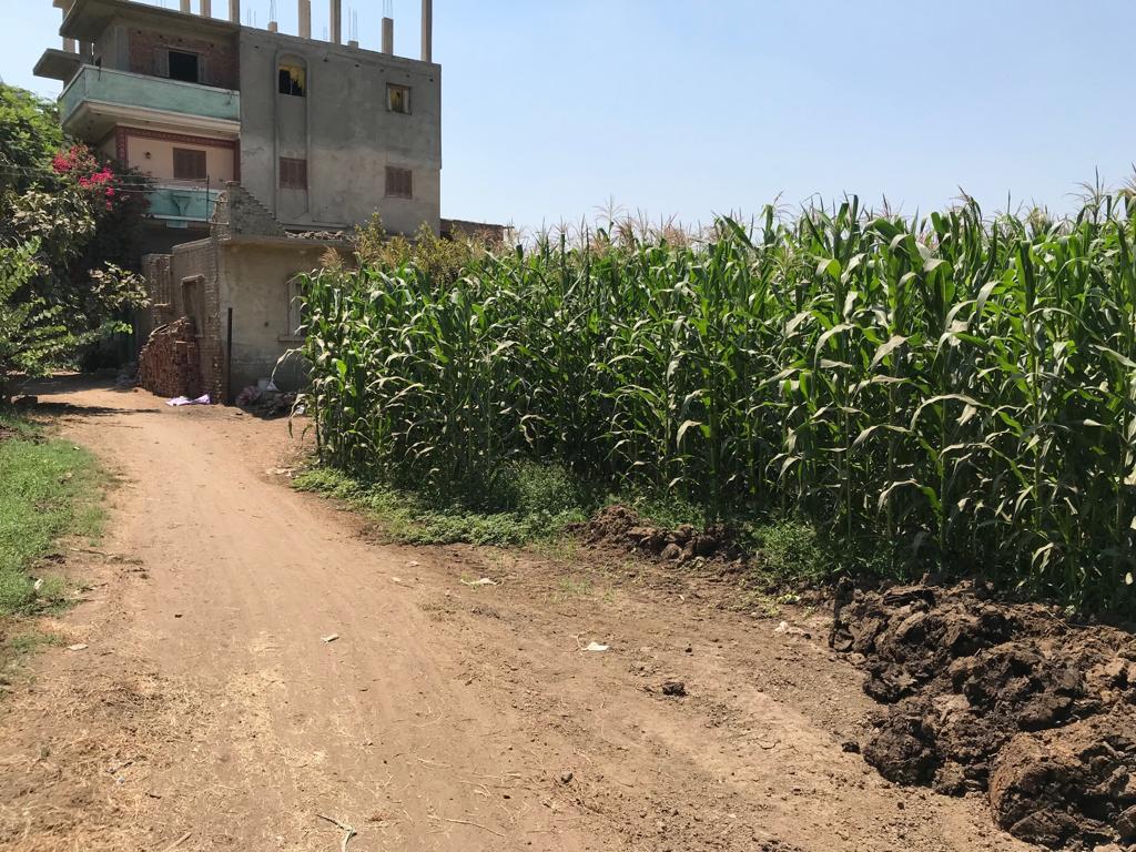 زراعة الذرة (1)