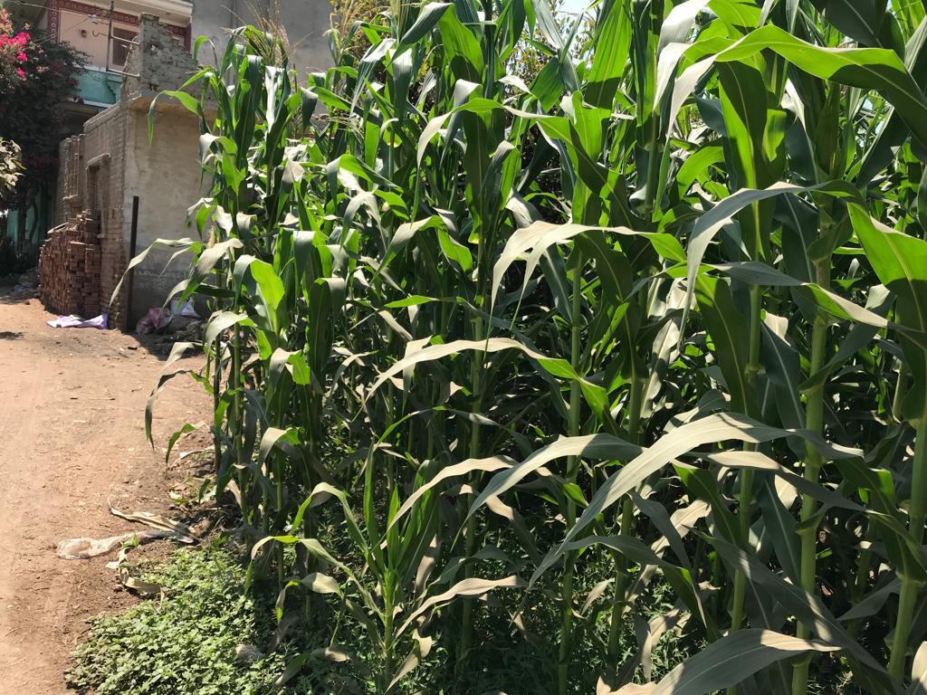 زراعة الذرة (3)