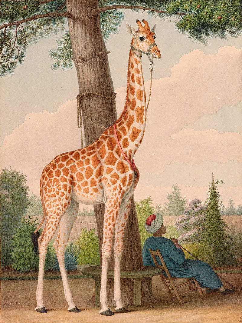 A painting depicting the giraffe that was dedicated by the Egyptians to France