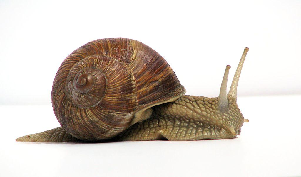 حلزون البحر