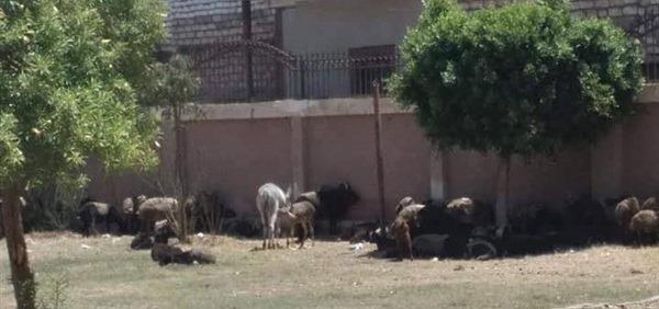 .قطيع من الأغنام والحمير داخل مدرسة بالمنيا  (2)