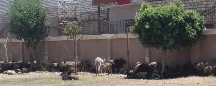 .قطيع من الأغنام والحمير داخل مدرسة بالمنيا  (1)