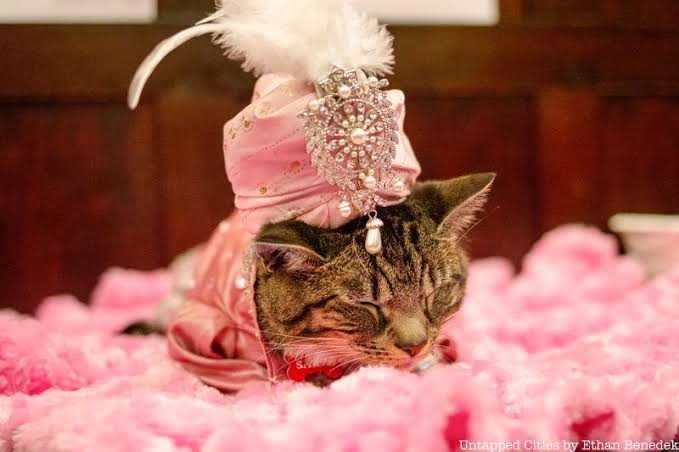 عرض أزياء القطط (3)