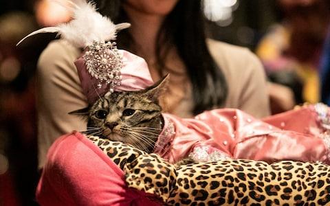 عرض أزياء القطط (17)