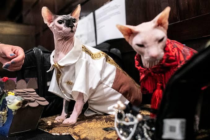 عرض أزياء القطط (15)