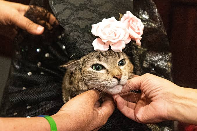 عرض أزياء القطط (5)