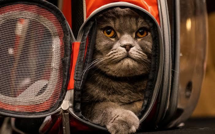 عرض أزياء القطط (6)