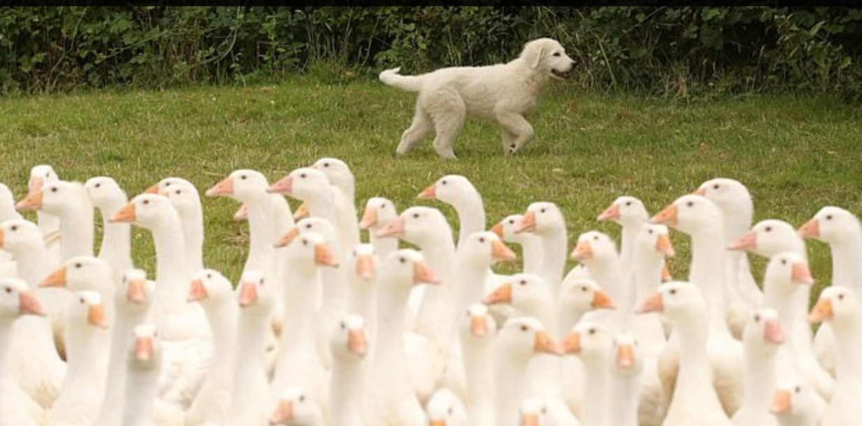 كلاب الحراسة