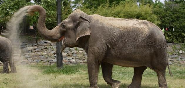 _الفيل