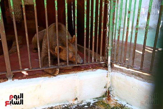 الدب الروسى بحيوان الجيزة