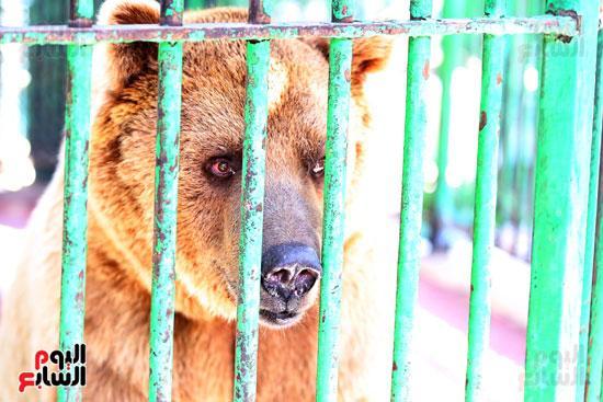 الدب  الروسى عنتر  بحديقة حيوان الجيزة