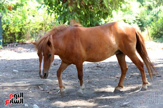 الحصان  بحديقة حيوان الجيزة