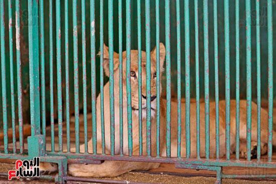 النمر البنغالى بحديقة حيوان الجيزة