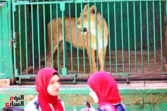 انثى النمر البنغالى