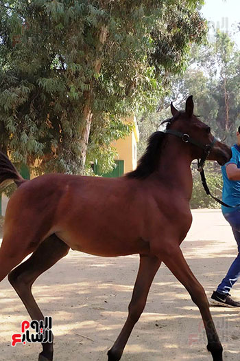 مهرات-الخيول--بمحطة-زرهاء-الخيول--(4)
