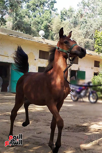 الخيول--بمحطة-الزهراء--(6)