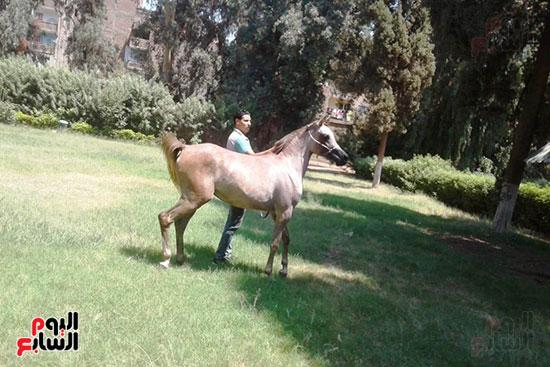 الخيول--بمحطة-الزهراء--(4)