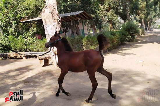 مهرات-الخيول--بمحطة-زرهاء-الخيول--(1)