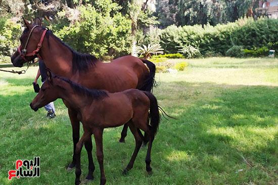 مهرات-الخيول--بمحطة-زرهاء-الخيول--(3)