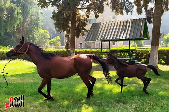 مهرات-الخيول--بمحطة-زرهاء-الخيول--(2)
