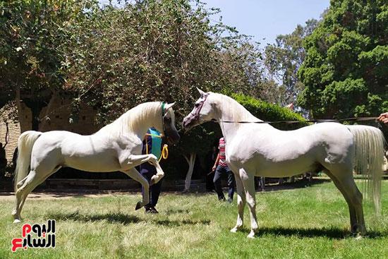 الخيول--بمحطة-الزهراء--(5)