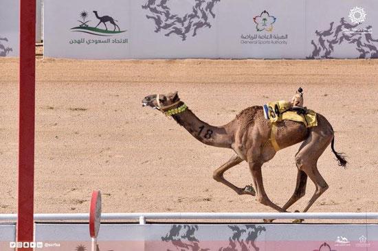 الهجن-الإمارتية-تحقق-الفوز-بأشواط-المساء-فى-سباق-الهجن-بالسعودية-(1)