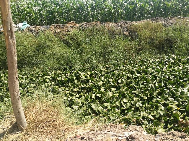 ورد النيل يغطى ترعة برما بطنطا (3)