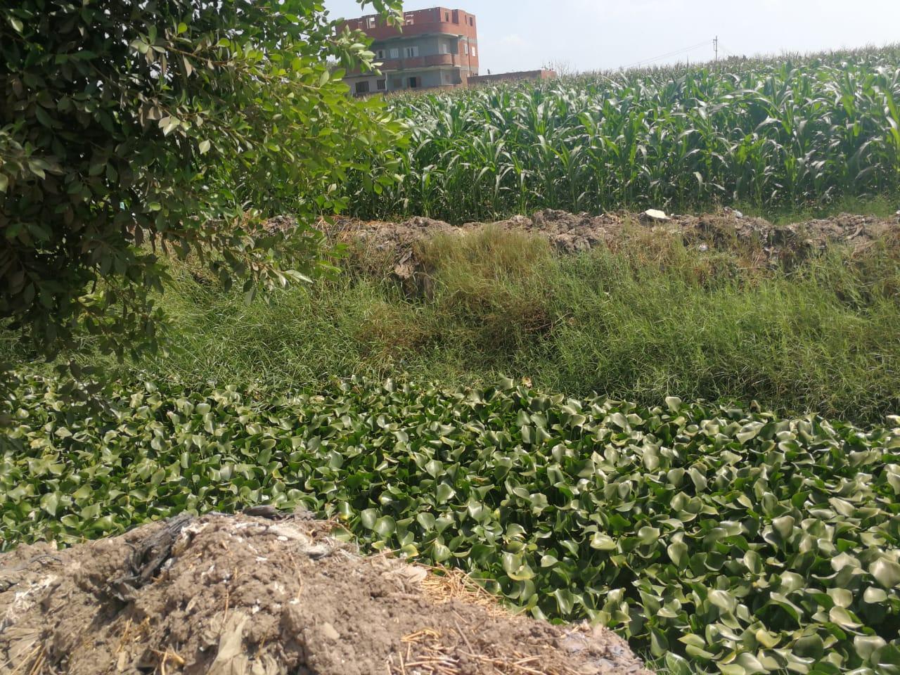 ورد النيل يغطى ترعة برما بطنطا (2)