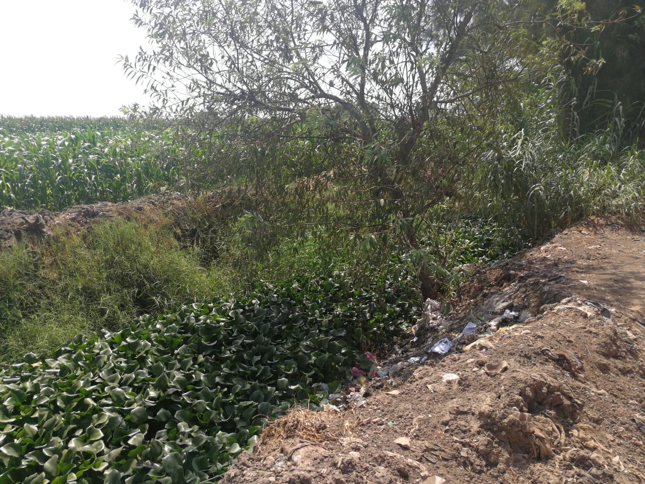ورد النيل يغطى ترعة برما بطنطا (1)
