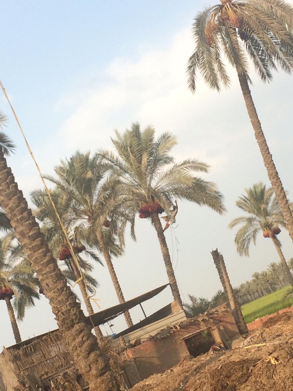 اشجار النجيل بقرية كوم النور التابعة لمركز ميت غمر (2)
