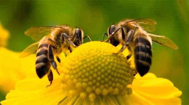 النحل (7)