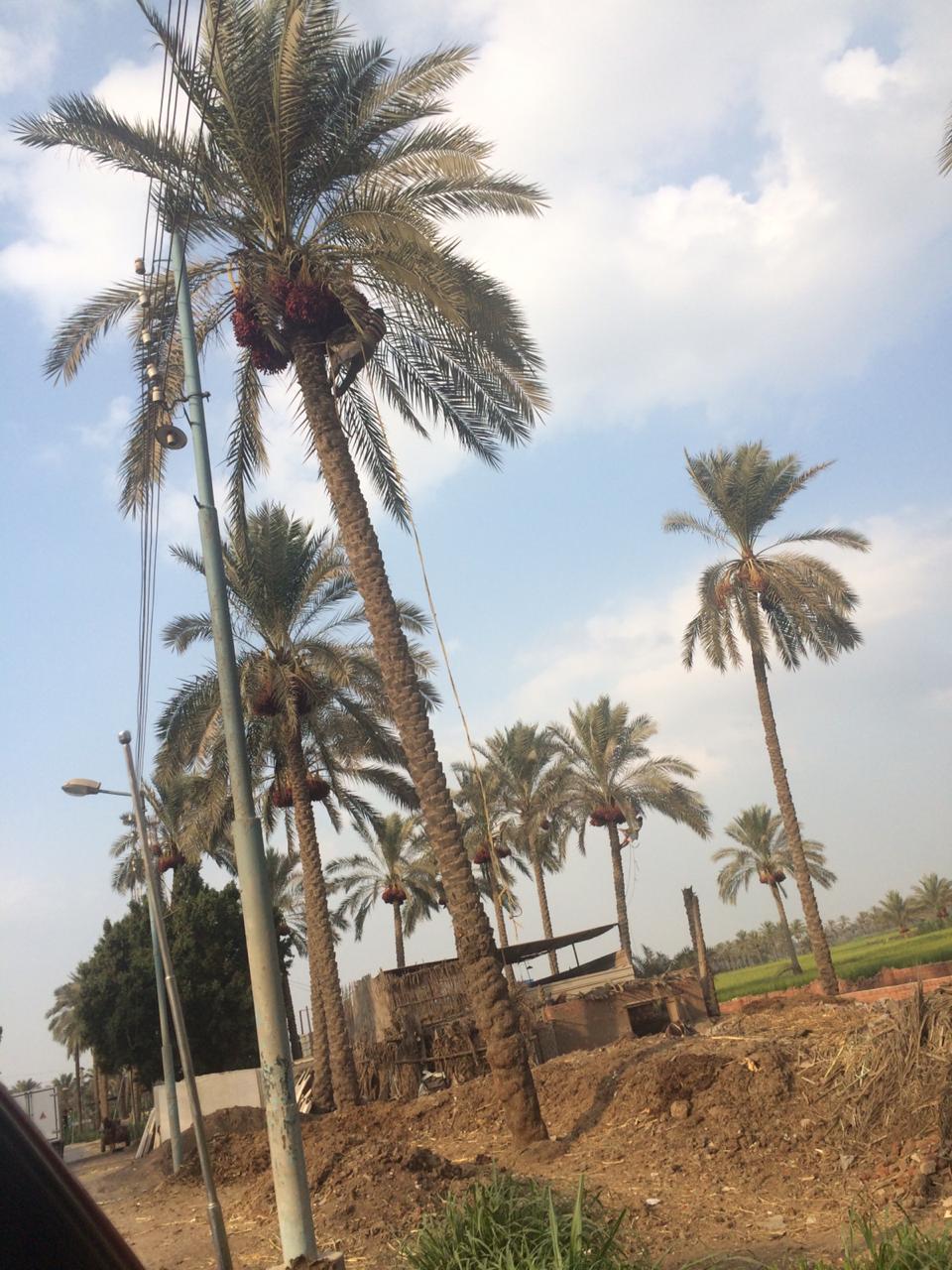 اشجار النجيل بقرية كوم النور التابعة لمركز ميت غمر