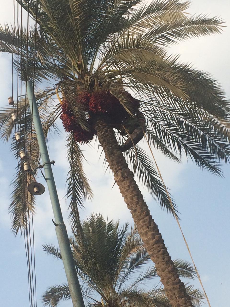 اشجار النجيل بقرية كوم النور التابعة لمركز ميت غمر (3)
