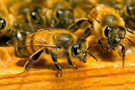 النحل (3)