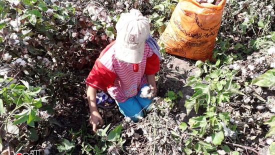12-طفل يعمل بالقطن