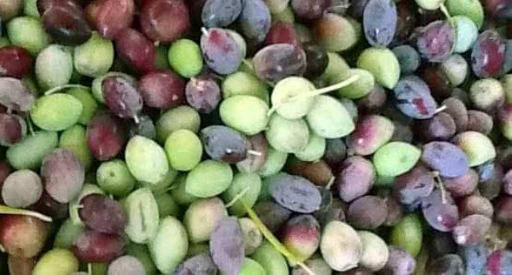 مطروح وسيوة تنتجان أفضل أنواع الزيتون لإنتاج الزيت والتخليل (4)