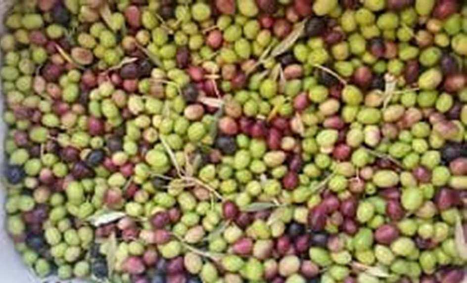 مطروح وسيوة تنتجان أفضل أنواع الزيتون لإنتاج الزيت والتخليل (9)
