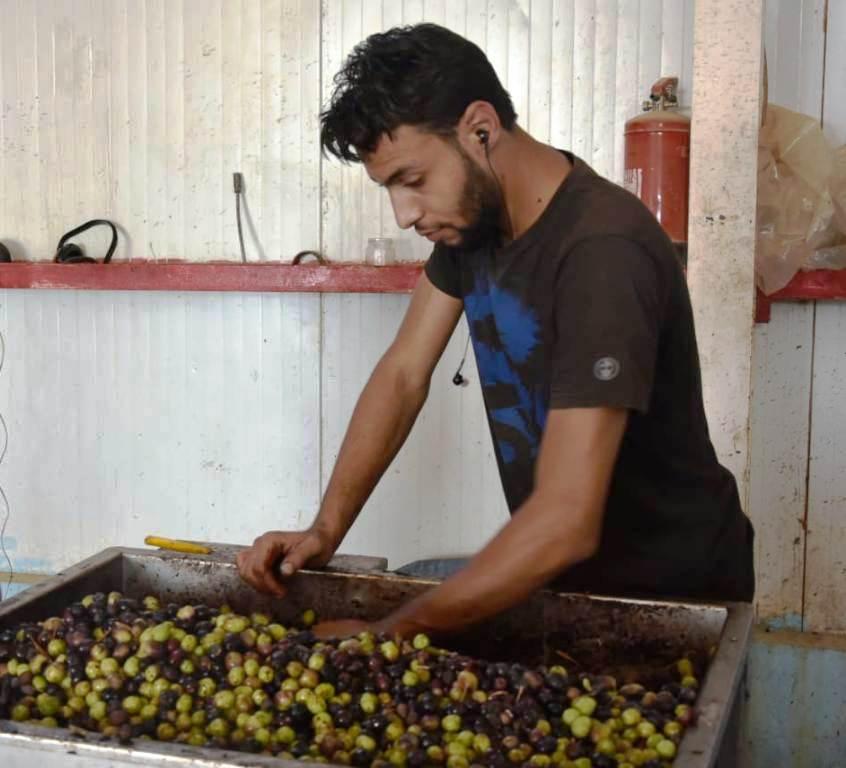 مطروح وسيوة تنتجان أفضل أنواع الزيتون لإنتاج الزيت والتخليل (12)