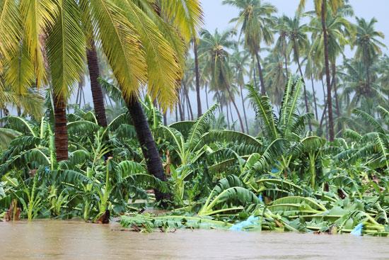 الدمار-يطال-مزارع-الموز