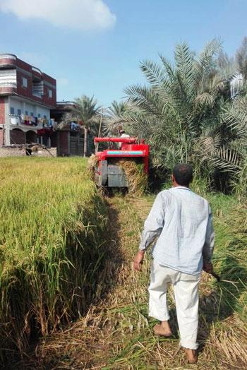 موسم حصاد الارز (4)