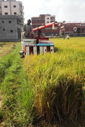 موسم حصاد الارز (3)