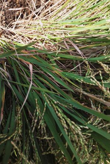 موسم حصاد الارز (6)