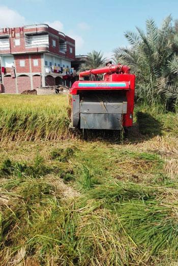 موسم حصاد الارز (2)