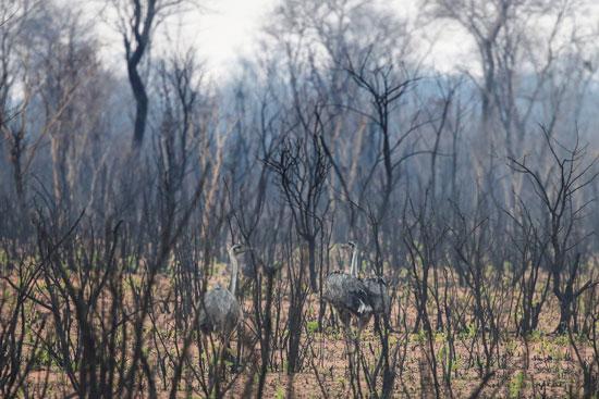 حيوانات بين الأشجار المحترقة