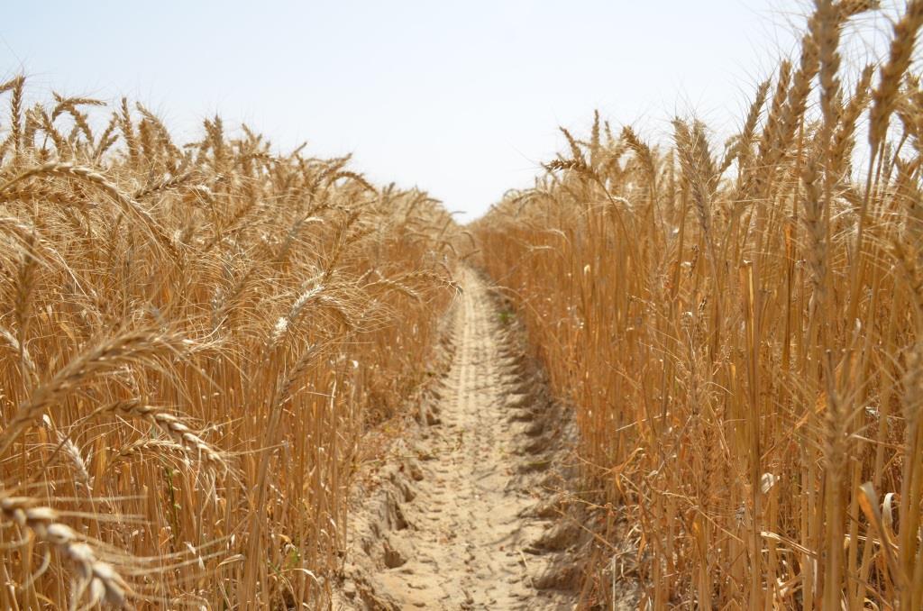 10 -جانب من مزارع القمح فى الإسماعيلية