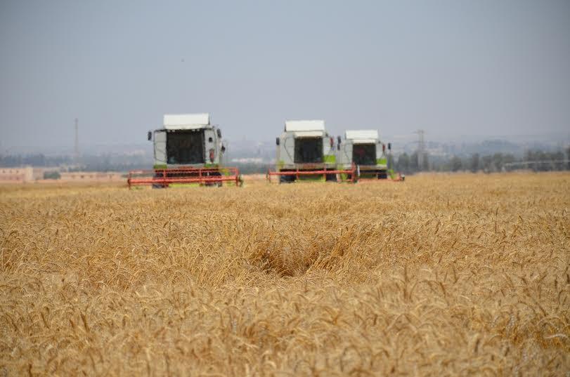 9 حصاد القمح