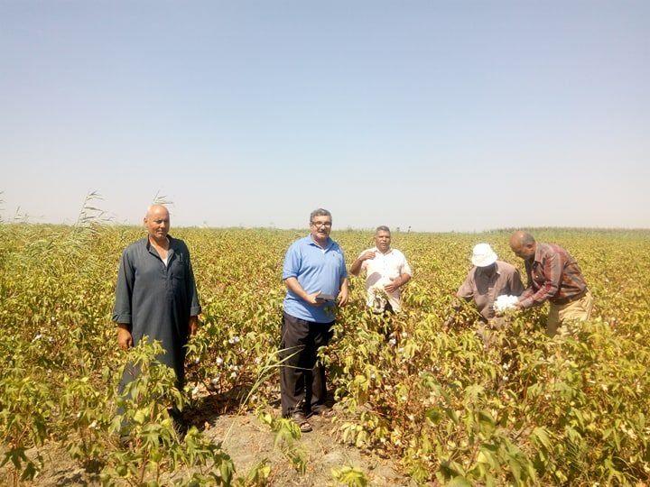 4- محصول القطن بالإسماعيلية