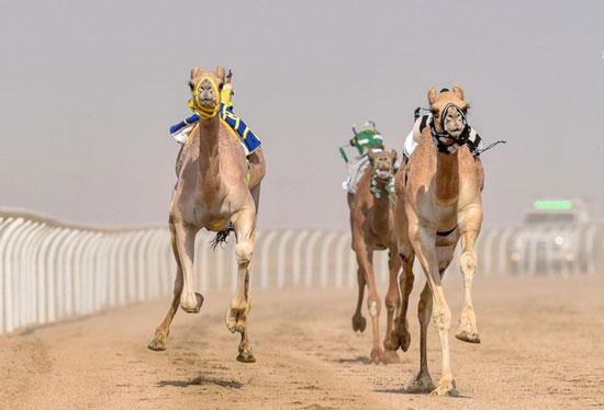 سباق ولى العهد للهجن بالسعودية  (3)