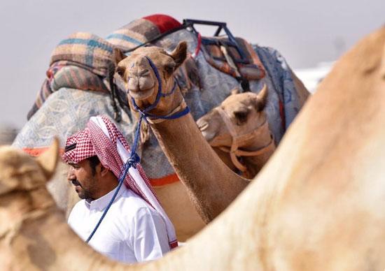سباق ولى العهد للهجن بالسعودية  (4)